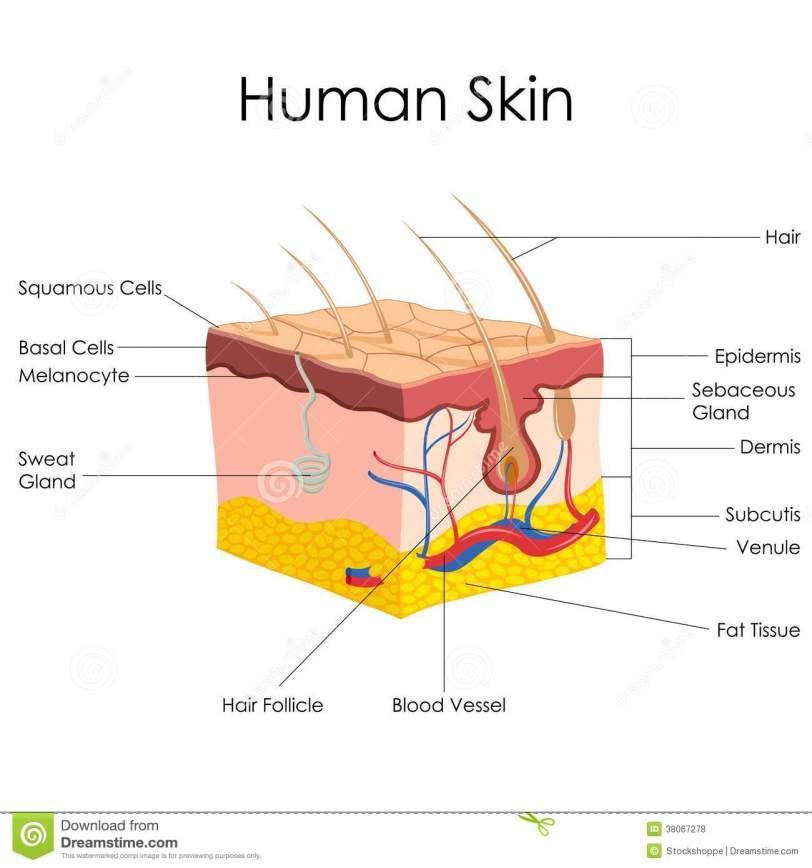 human-skin-anatomy-38067278.jpg