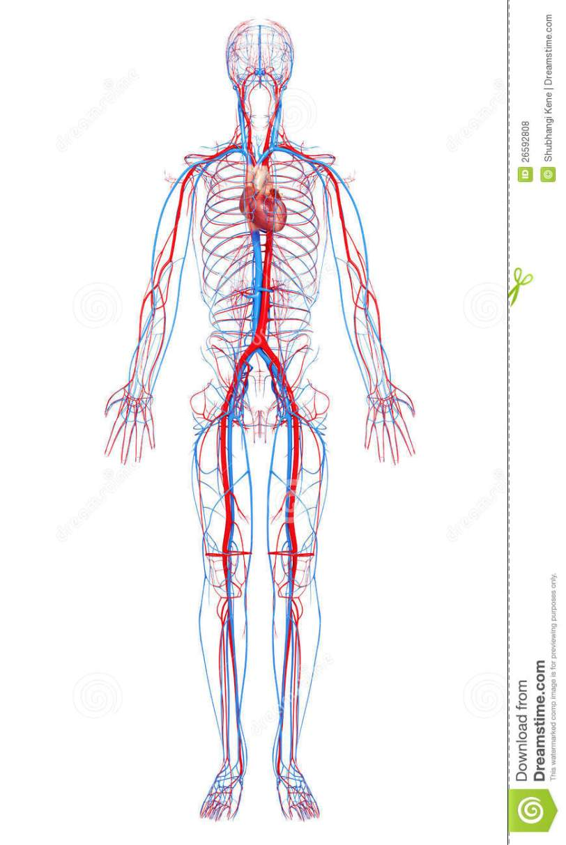 circulatory-system-male-body-26592808.jpg