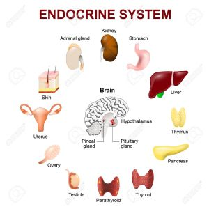 endocrinesystem2