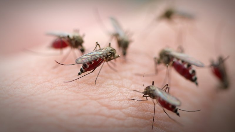 Mosquitoes feeding on a person